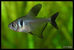 Hyphessobrycon megalopterus - Zwarte Fantoomzalm