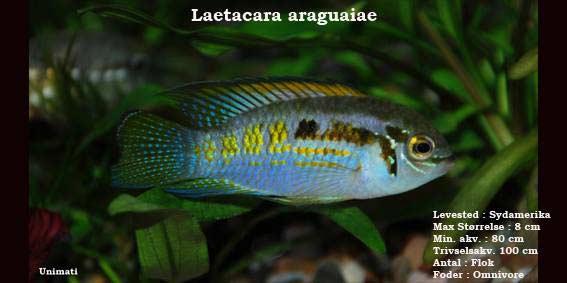 Laetacara araguaiae