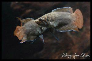 Macropodus ocellatus - Rondstaartparadijsvis