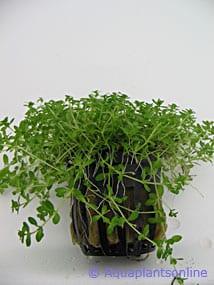 Micranthemum micranthemoides (Hemianthus micranthemoides)