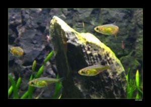 Microdevario kubotai - Smaragd of Neon Dwergrasbora