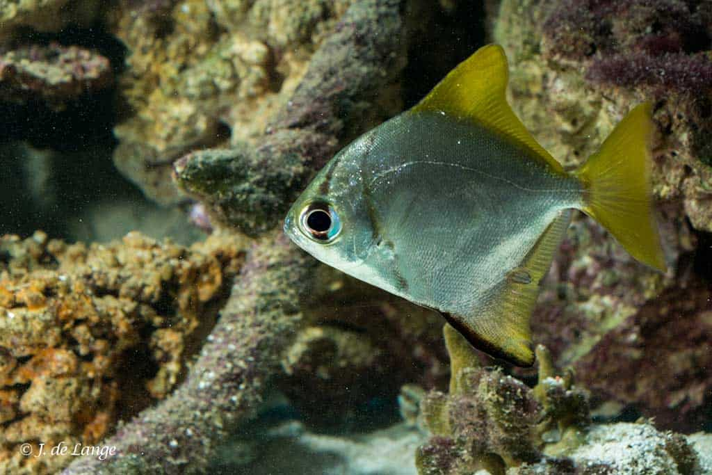 Monodactylus argenteus - Zilverbladvis