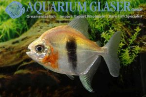 Myloplus