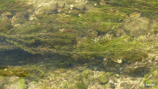 Myriophyllum spicatum - Aarvederkruid