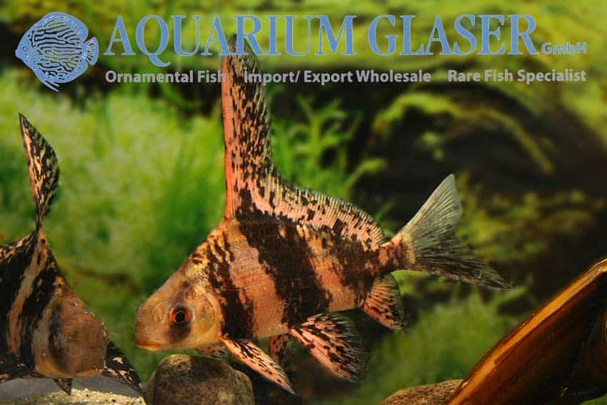 Myxocyprinus asiaticus - Rood