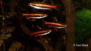 Nannostomus mortenthaleri