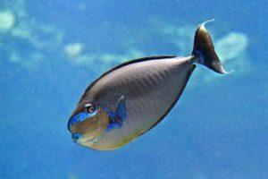 Naso vlamingii - Grootneus Eenhoornvis