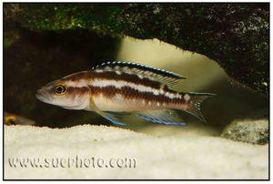 Neolamprologus buescheri - Chaitika
