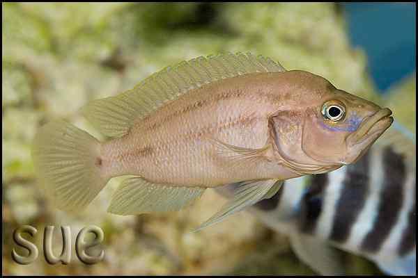 Neolamprologus prochilus - Man