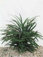 Ophiopogon minima