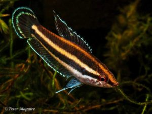 Parosphromenus deissneri - Prachtgoerami