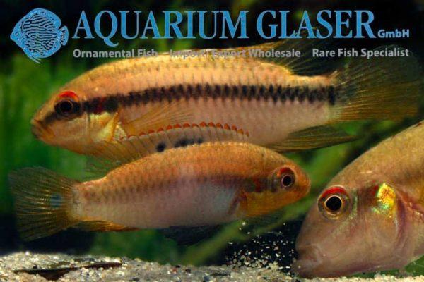 Pelvicachromis roloffi - Koppel