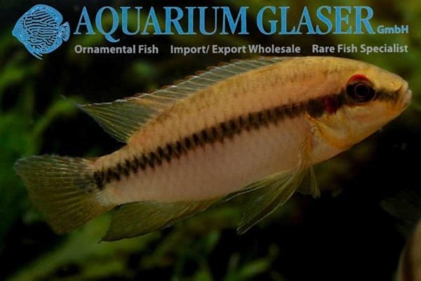Pelvicachromis roloffi - Man
