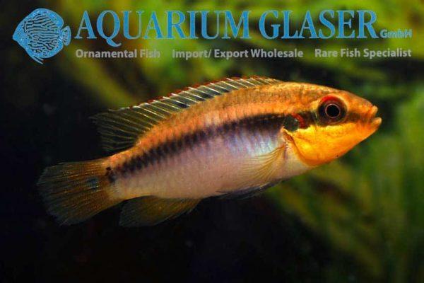 Pelvicachromis roloffi - Vrouw