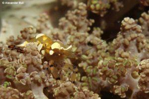Periclimenes brevicarpalis - Anemoongarnaal