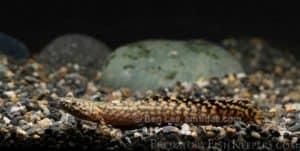 Polypterus ornatipinnis - Marmerkwastvinsnoek