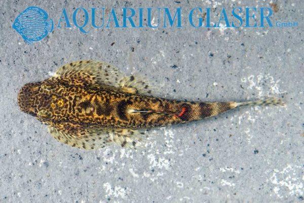 Pseudogastromyzon cheni
