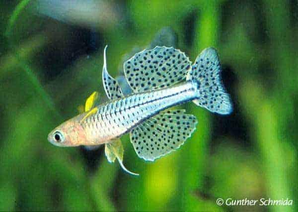 Pseudomugil gertrudae [Weipa] - Foto © Gunther Schmida
