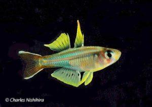 Pseudomugilidae