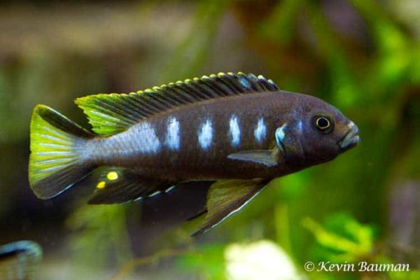 Pseudotropheus elongatus Chewere - Man