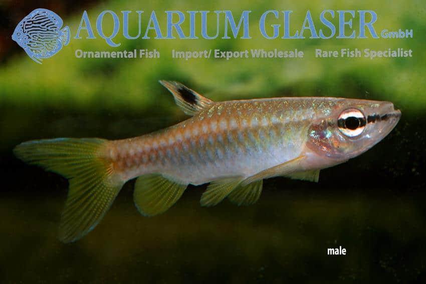 Pyrrhulina australis - Man