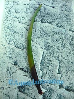 Rhizophora Mangrove
