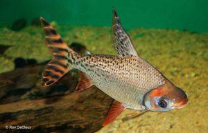 Prochilodontidae