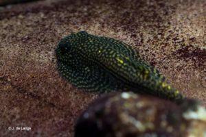 Sewellia albisuera