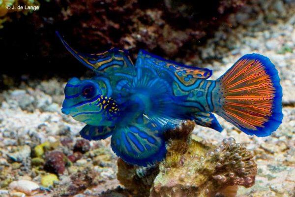 Synchiropus splendidus - Blauwe Mandarijn Pitvis