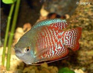 Trichogaster lalius - Dwerggoerami