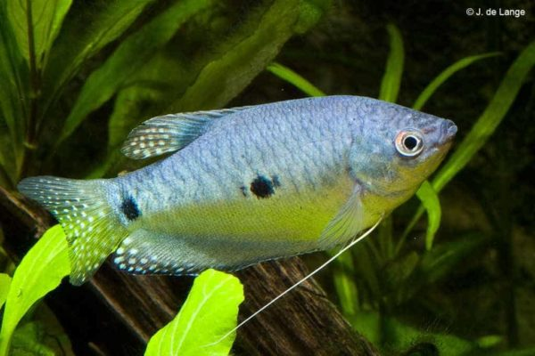 Trichopodus trichopterus - Blauwe Spat