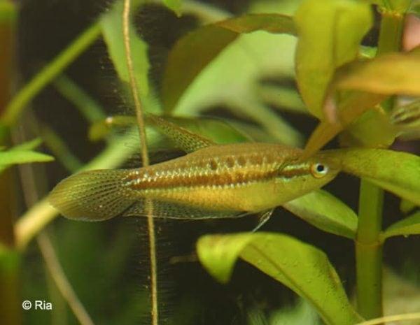 Trichopsis pumila - Kleine Knorgourami