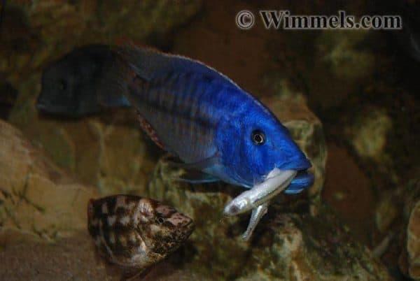 Tyrannochromis nigriventer - Met vis in zijn bek
