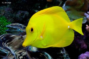 Zebrasoma flavescens - Gele Zeilvindoktersvis