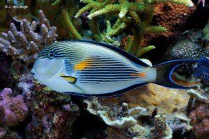 Acanthurus sohal - Rode Zee Doktersvis