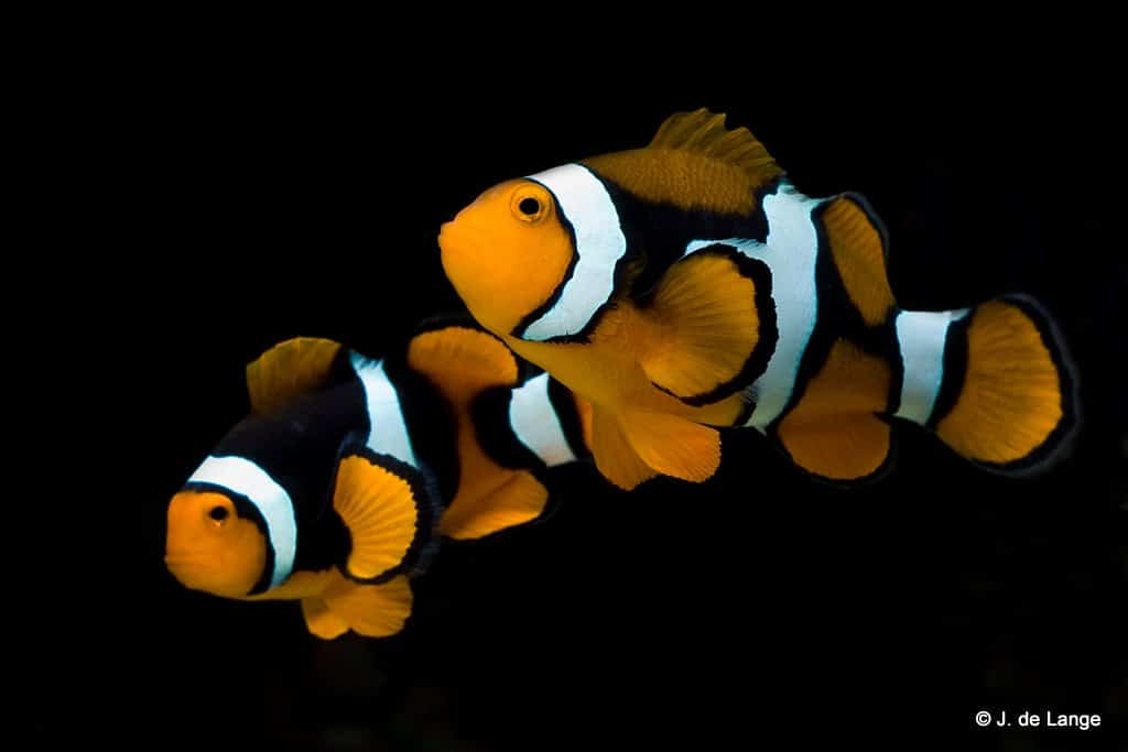 Amphiprion percula - Zwarte driebands anemoonvis