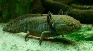 Ambystomatidae