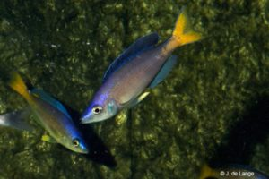 Cyprichromis leptosoma - Utinta