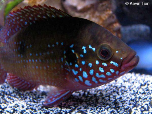 Hemichromis guttatus - Blauwe Juweel Cichlide