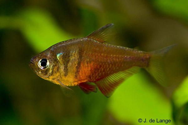 Hyphessobrycon flammeus - Rode Rio