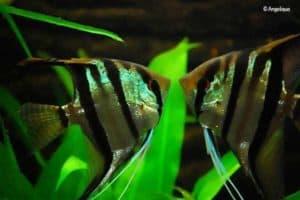 Pterophyllum scalare - Maanvis