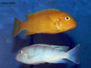 Metriaclima lombardoi - Man en vrouw