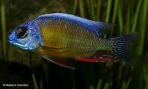 Protomelas sp. Steveni Taiwan Reef
