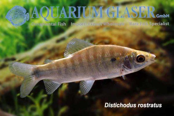 Distichodus rostratus