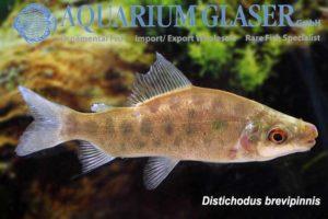 Distichodus brevipinnis