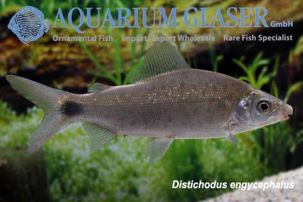 Distichodis engycephalus