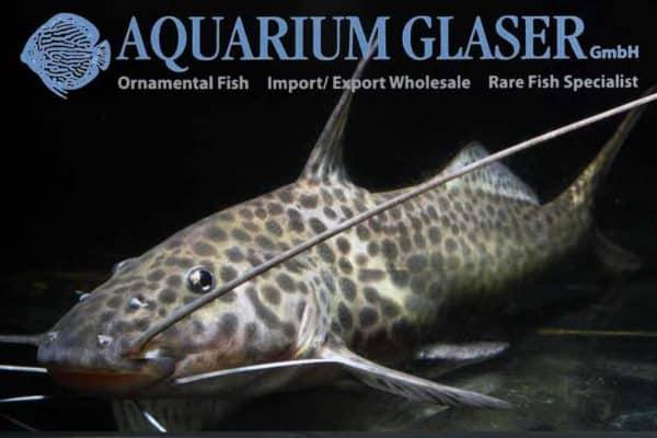 Aguarunichthys torosus