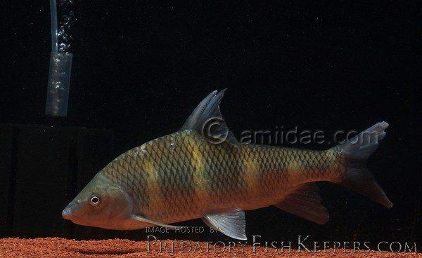Acrossocheilus longipinnis