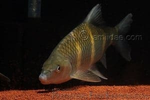 Acrossocheilus
