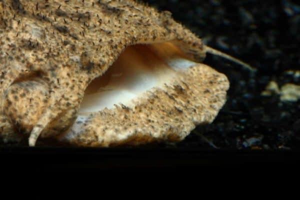Lophiosilurus alexandr